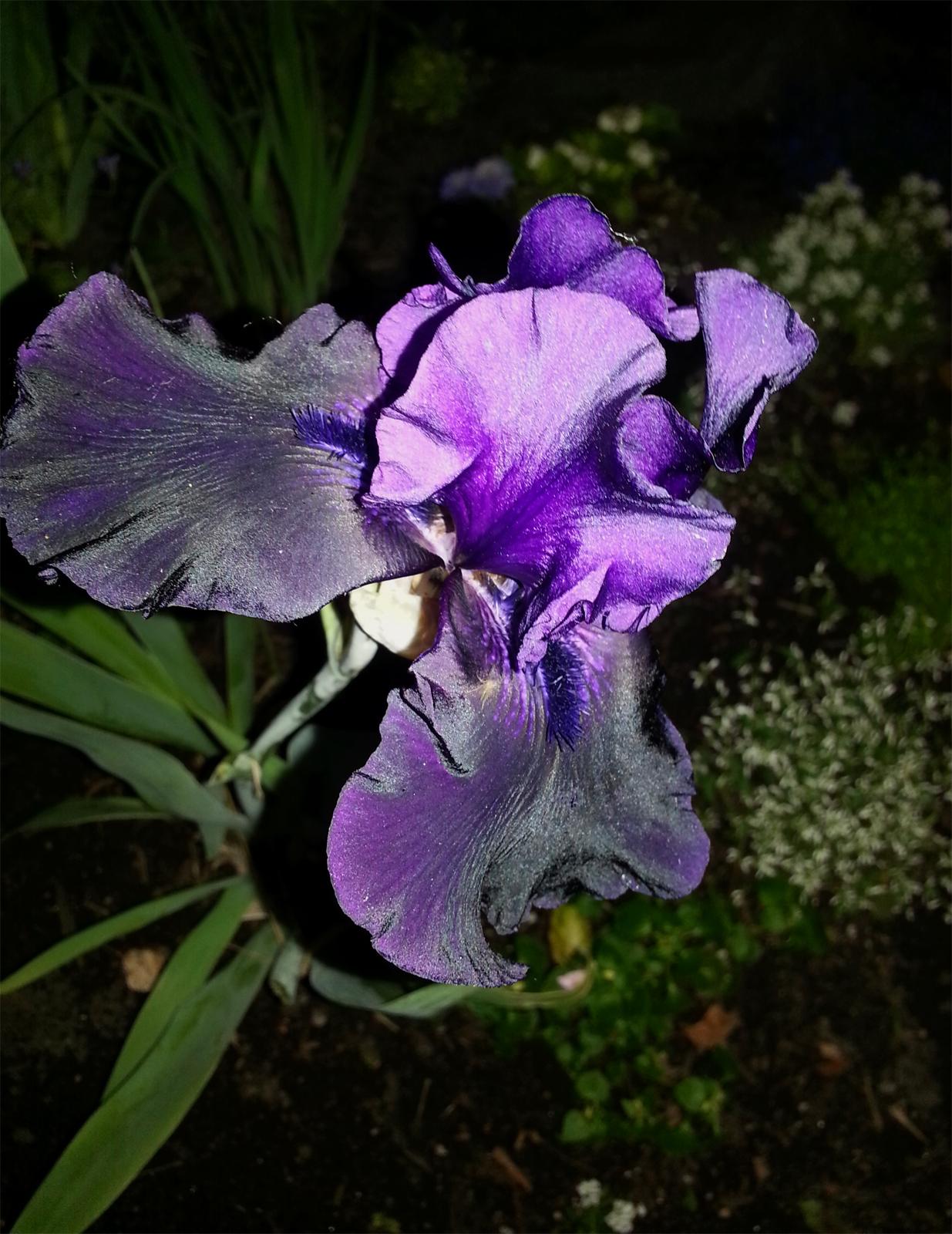 iris iris iris fleur de lis real cowgirls wear fleur de lis of course nicholas payton. Black Bedroom Furniture Sets. Home Design Ideas