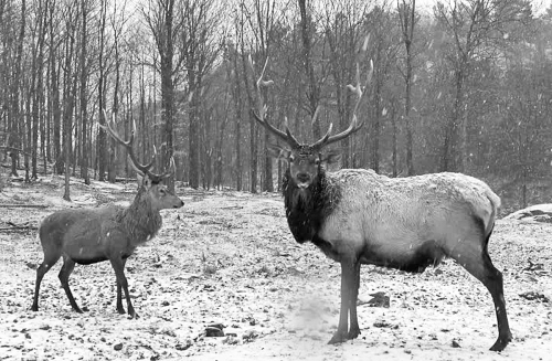 antler_female_male-_reindeer_couple_16dec2016