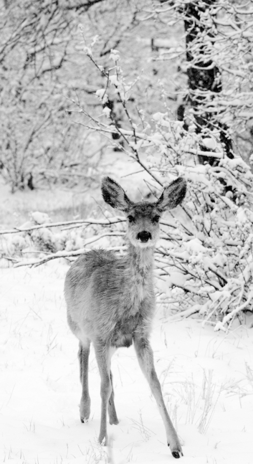 Mule deer does brave a cold Colorado winter snowstorm in the pine forest.